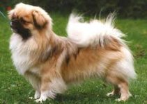Best Dog Foods For Tibetan Spaniels