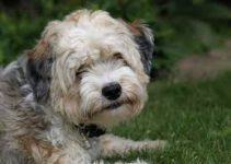 Best Dog Foods For Tibetan Terriers