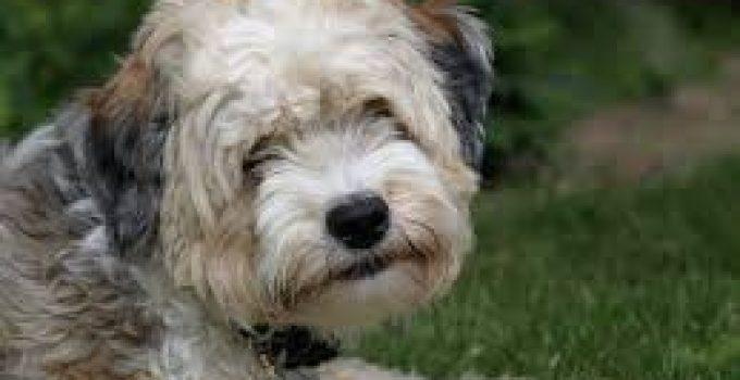 Best Dog Foods For Tibetan Terriers