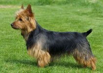5 Best Dog Harnesses For Australian Terriers (Reviews Updated 2021)