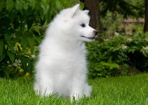 Best Dog Harnesses For American Eskimo Dogs
