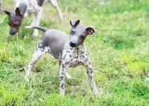 Best Dog Harnesses For American Hairless Terriers