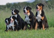 Best Dog Harnesses For Greater Swiss Mountain Dogs