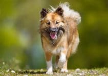 Best Dog Harnesses For Icelandic Sheepdogs