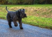 5 Best Dog Harnesses for Kerry Blue Terriers (Reviews Updated 2021)