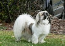 5 Best Dog Harnesses for Tibetan Spaniels (Reviews Updated 2021)