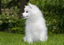 5 Best Dog Muzzles for American Eskimo Dogs (Reviews Updated 2021)