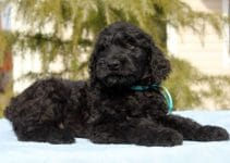 Best Dog Muzzles For Black Russian Terriers