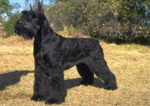 Best Dog Muzzles for Giant Schnauzers