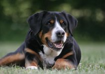 5 Best Dog Muzzles for Greater Swiss Mountain Dogs (Reviews Updated 2021)