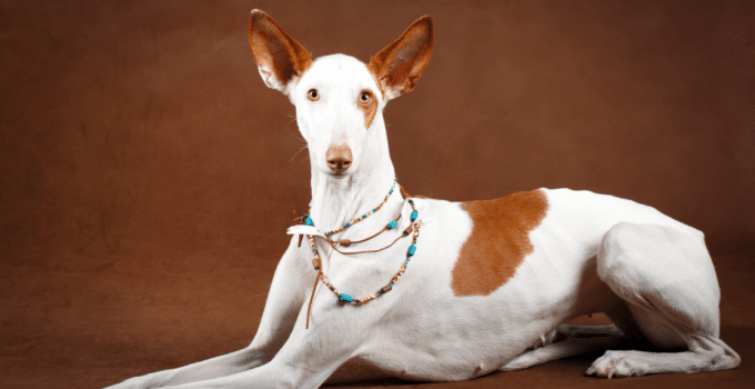 Best Dog Shampoos For Ibizan Hounds