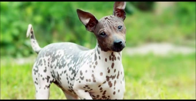 Best Dog Shampoos For American Hairless Terriers