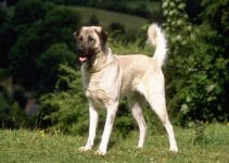 Best Dog Shampoos For Anatolian Shepherd Dogs