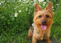 Best Dog Shampoos For Australian Terriers