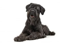 5 Best Dog Shampoos for Black Russian Terriers (Reviews Updated 2021)