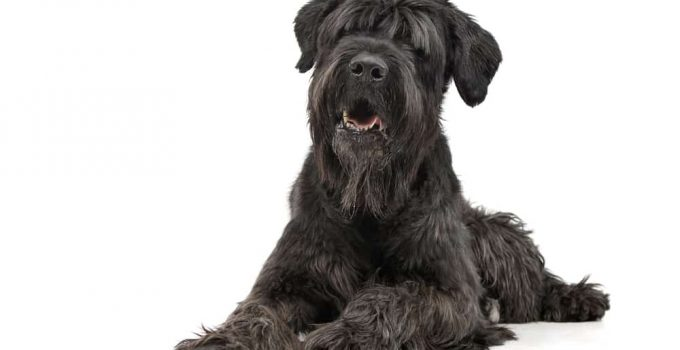 Best Dog Shampoos For Black Russian Terriers