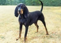 Best Dog Shampoos For Black And Tan Coonhounds