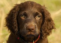 Best Dog Shampoos For Boykin Spaniels