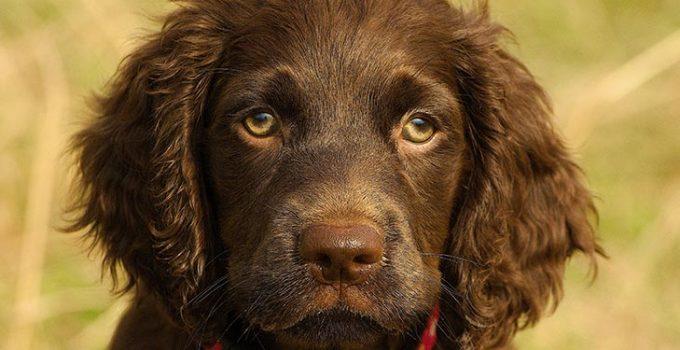Best Dog Shampoos For Boykin Spaniels