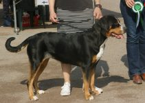 5 Best Dog Shampoos for Greater Swiss Mountain Dogs (Reviews Updated 2021)