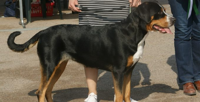 Best Dog Shampoos for Greater Swiss Mountain Dogs