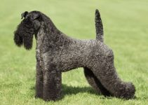 Best Dog Shampoos For Kerry Blue Terriers