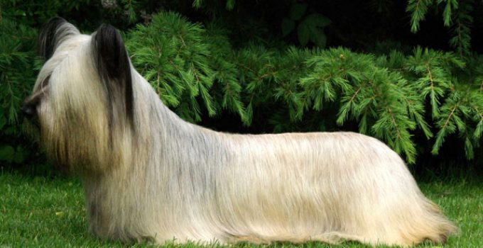 Best Dog Shampoos For Skye Terriers