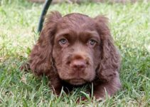 5 Best Dog Shampoos for Sussex Spaniels (Reviews Updated 2021)