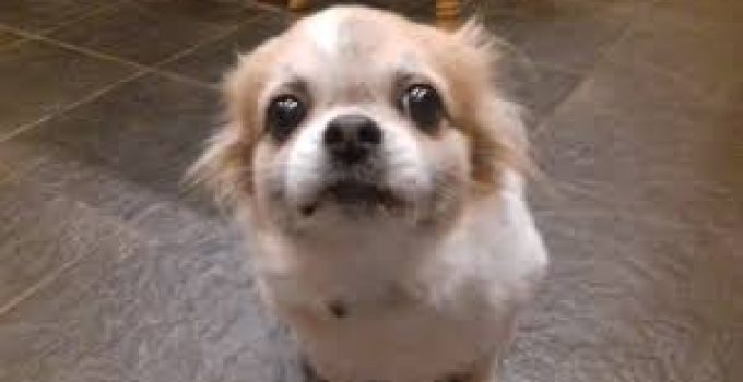 Best Dog Shampoos For Tibetan Spaniels