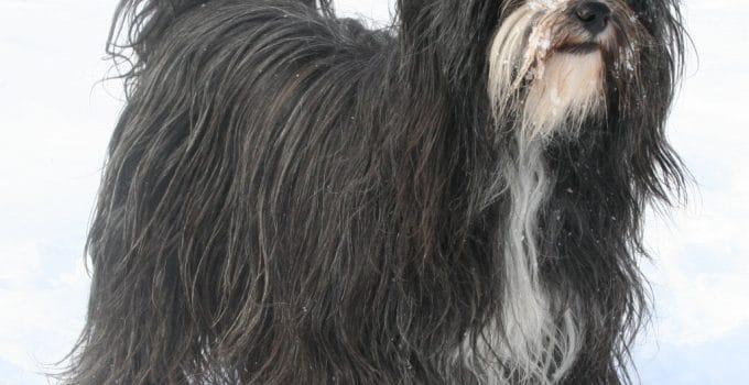 Best Dog Shampoos For Tibetan Terriers