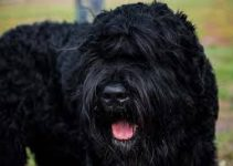 5 Best Dog Toys For Black Russian Terriers (Reviews Updated 2021)