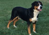 Best Dog Toys For Greater Swiss Mountain Dogs