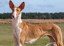 Best Dog Toys For Ibizan Hounds