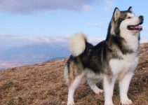 Best Dog Toys For Alaskan Malamutes