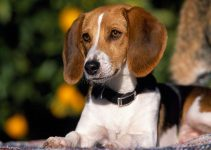 5 Best Dog Toys for American Foxhounds (Reviews Updated 2021)