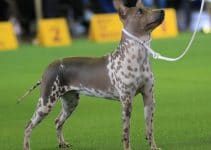Best Dog Toys For American Hairless Terriers
