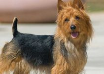 5 Best Dog Toys for Australian Terriers (Reviews Updated 2021)