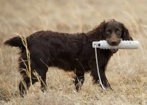 5 Best Dog Toys for Boykin Spaniels (Reviews Updated 2021)
