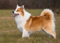 5 Best Dog Toys for Icelandic Sheepdogs (Reviews Updated 2021)