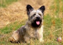 5 Best Dog Toys for Skye Terriers (Reviews Updated 2021)