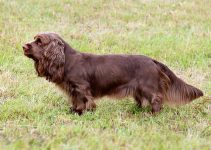 Best Dog Toys For Sussex Spaniels