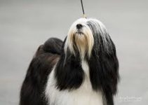 Best Dog Toys For Tibetan Terriers