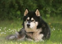 5 Best Dog Training Books for Alaskan Malamutes (Reviews Updated 2021)
