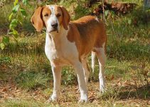 Best Puppy Foods For American Foxhounds