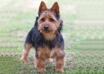 5 Best Puppy Foods For Australian Terriers (Reviews Updated 2021)