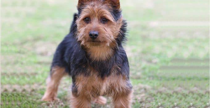 Best Puppy Foods For Australian Terriers