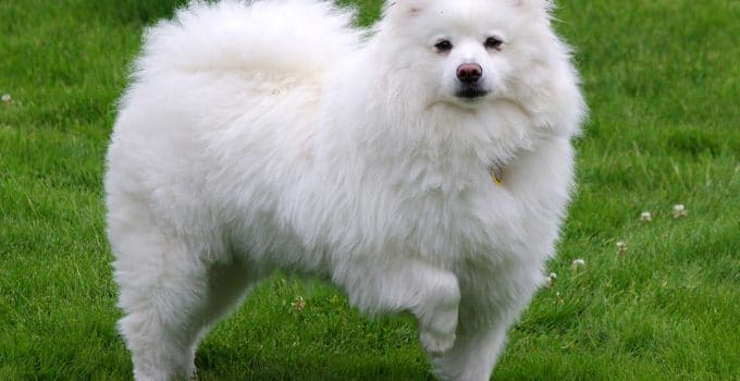 Best Puppy Foods For American Eskimo Dogs