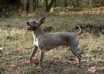 Best Puppy Foods For American Hairless Terriers