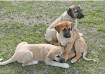 5 Best Puppy Foods for Anatolian Shepherd Dogs (Reviews Updated 2021)