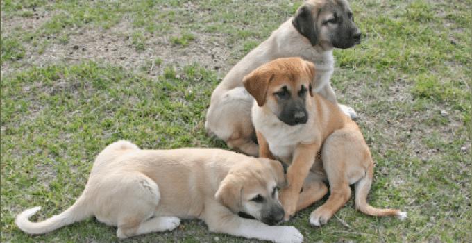 Best Puppy Foods For Anatolian Shepherd Dogs